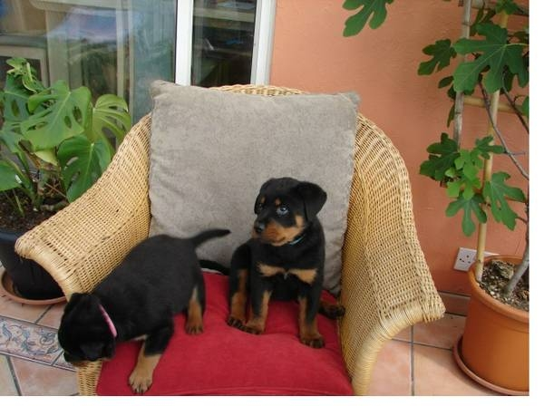 We have male and female affectionate Rottweiler pu